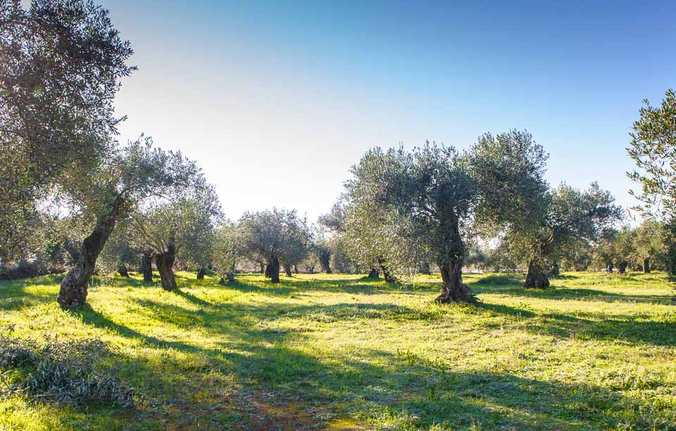 bio-green-olive oil-2