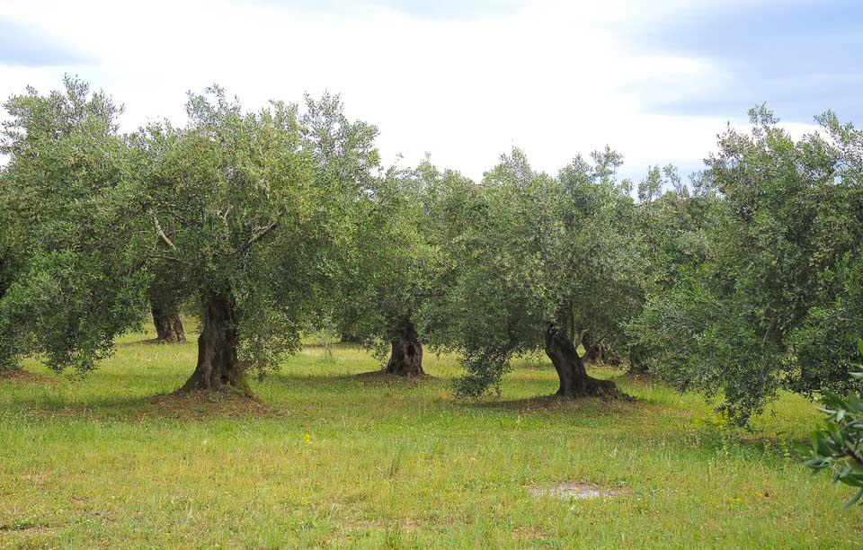 bio-green-olive oil-3