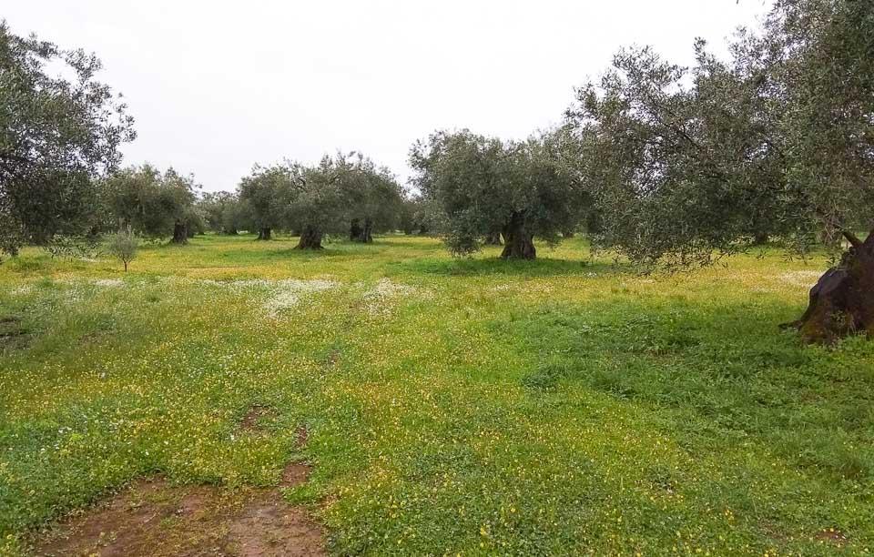 bio-green-olive oil