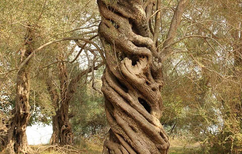 bio-green-oliveoil_enetikos_elaionas_2